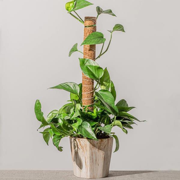 몬스테라 수태봉 수태 넝쿨 식물 지지대 코코넛봉