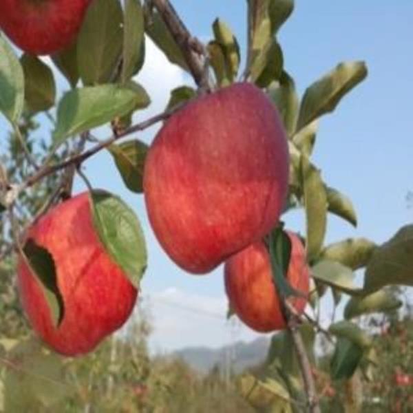 사과(미야비부사) 특묘 묘목-접목1년